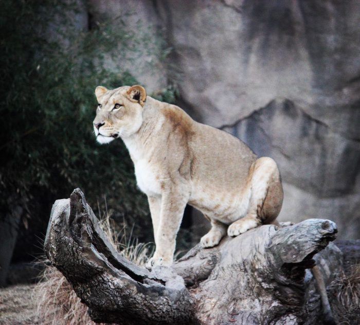 Lion on tree stump at Cincinnati Zoo
