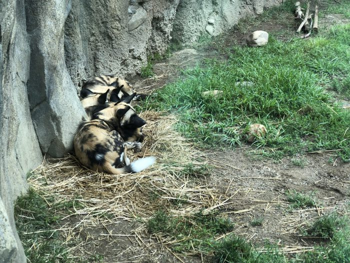 African Painted Dogs cluster together at the Cincinnati Zoo