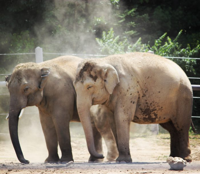 Two Asian elephants dust themselves in the sun