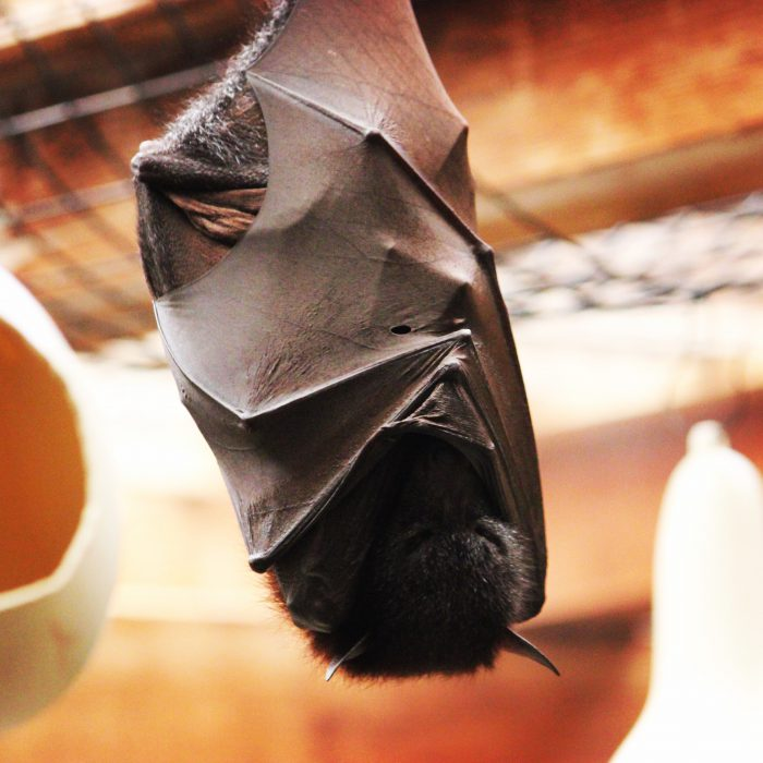 A large flying fox bat hangs out