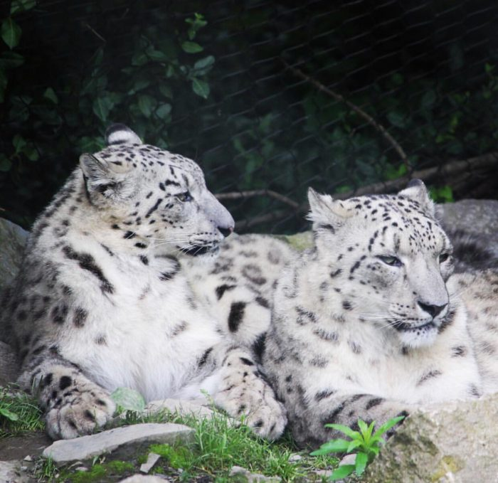 Snow Leopards at Cincinnati Zoo