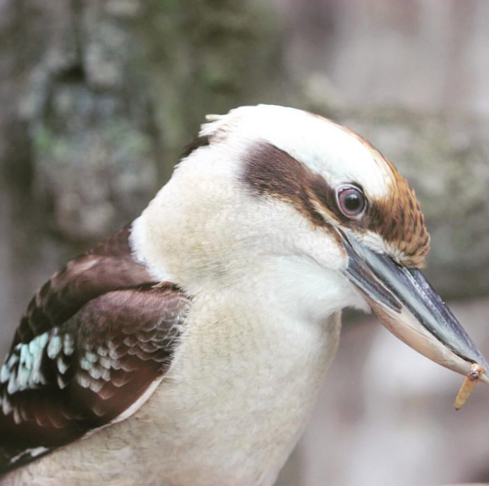 Kookaburra at Cincinnati Zoo