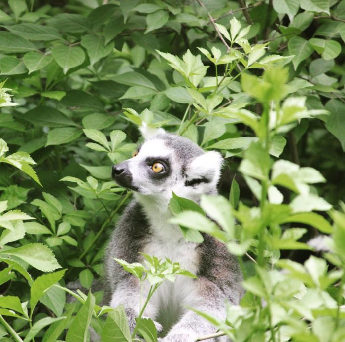 Ring Tailed Lemur at Cincinnati Zoo