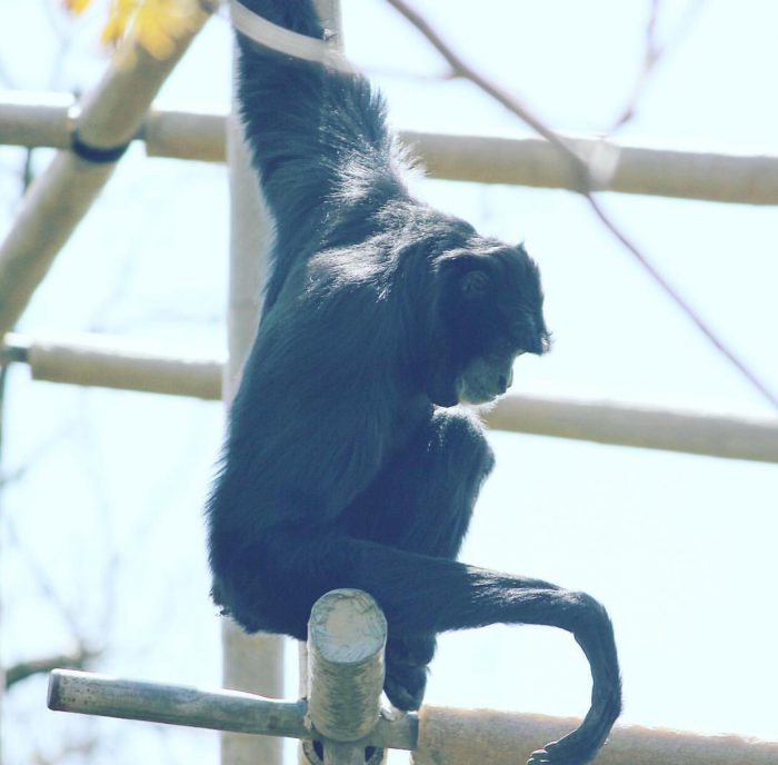 Siamang at Cincinnati Zoo