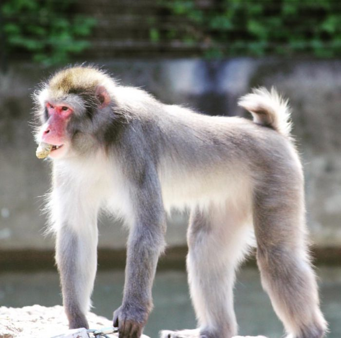 Japanese Macaque at Cincinnati Zoo
