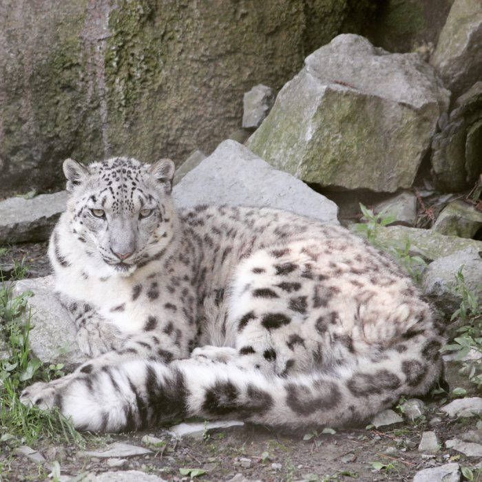 Snow Leopard at Cincinnati Zoo