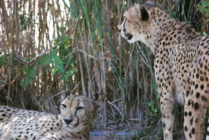 Cheetahs At Columbus Zoo