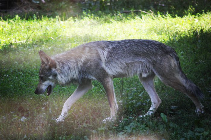Mexican Wolf at Columbus Zoo