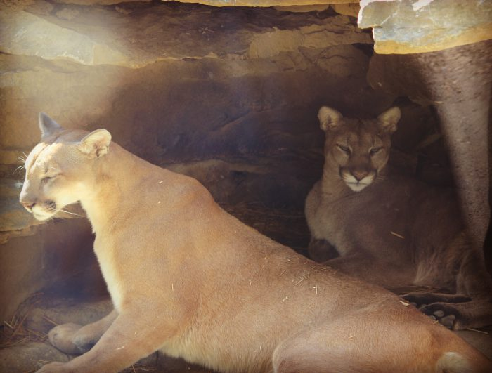 Cougars at Columbus Zoo