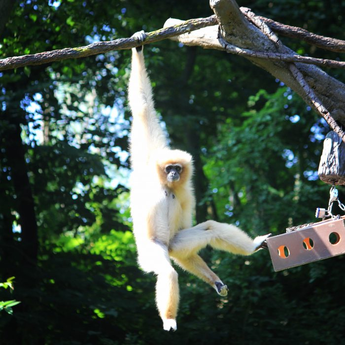 White Handed Gibbon at Cincinnati Zoo
