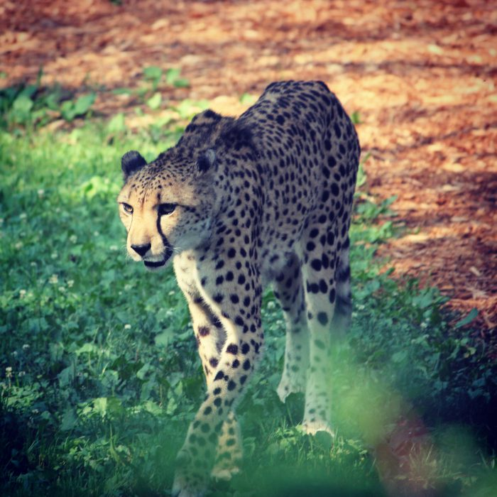 Cheetah at Cincinnati Zoo