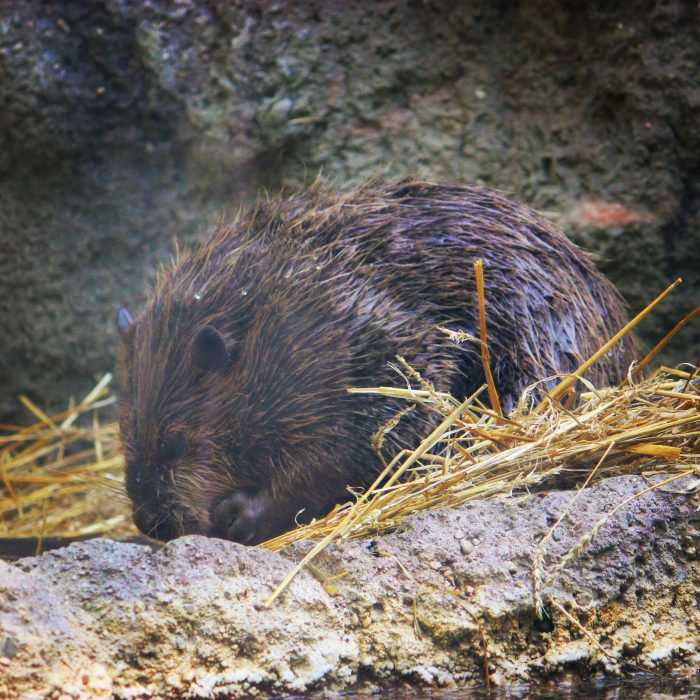 Beaver at Columbus Zoo