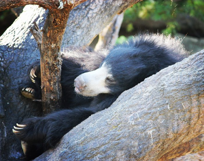 Sloth Bear at Columbus Zoo