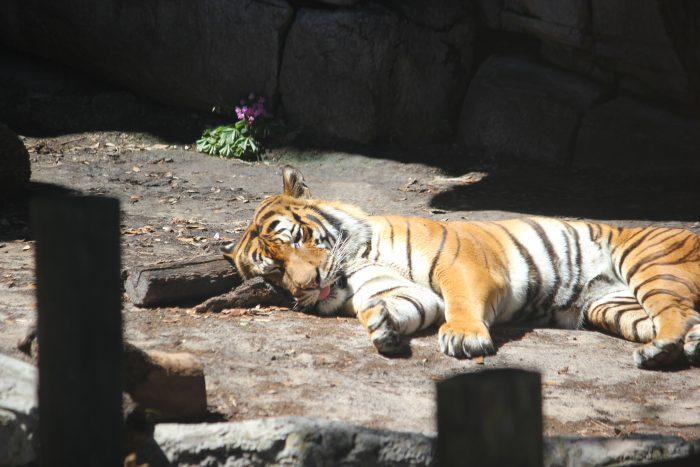 Malayan Tiger at Zoo Tampa
