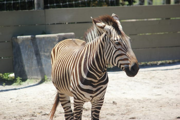 Zebra at ZooTampa
