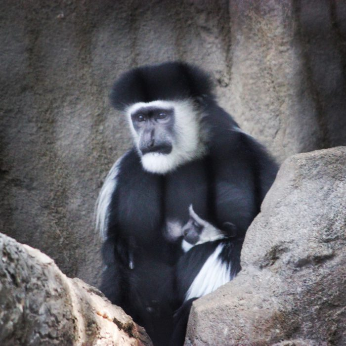 Black and White Colobus Monkey at Cincinnati Zoo