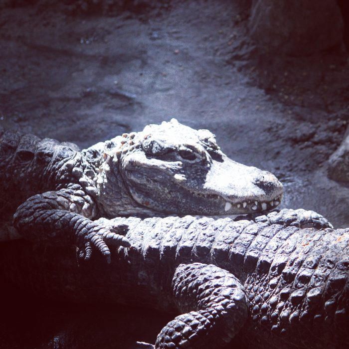 Chinese Alligator at Cincinnati Zoo